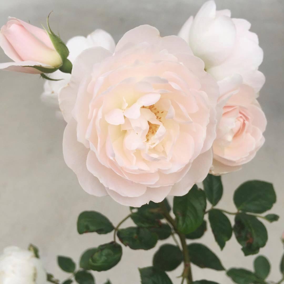 garden-roses-2