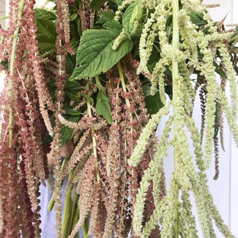 amaranthus-2