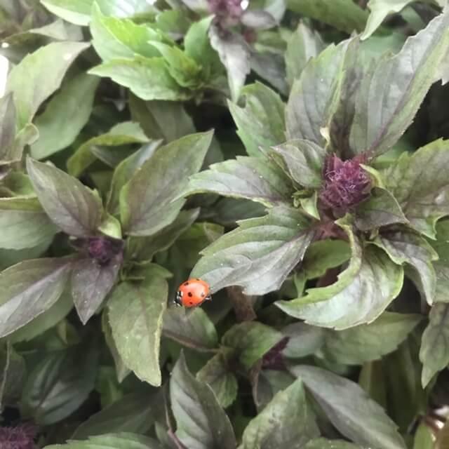 Basil and Ladybug