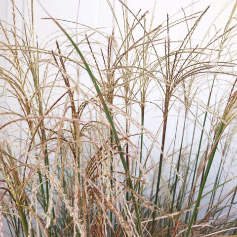 ornamental-grass