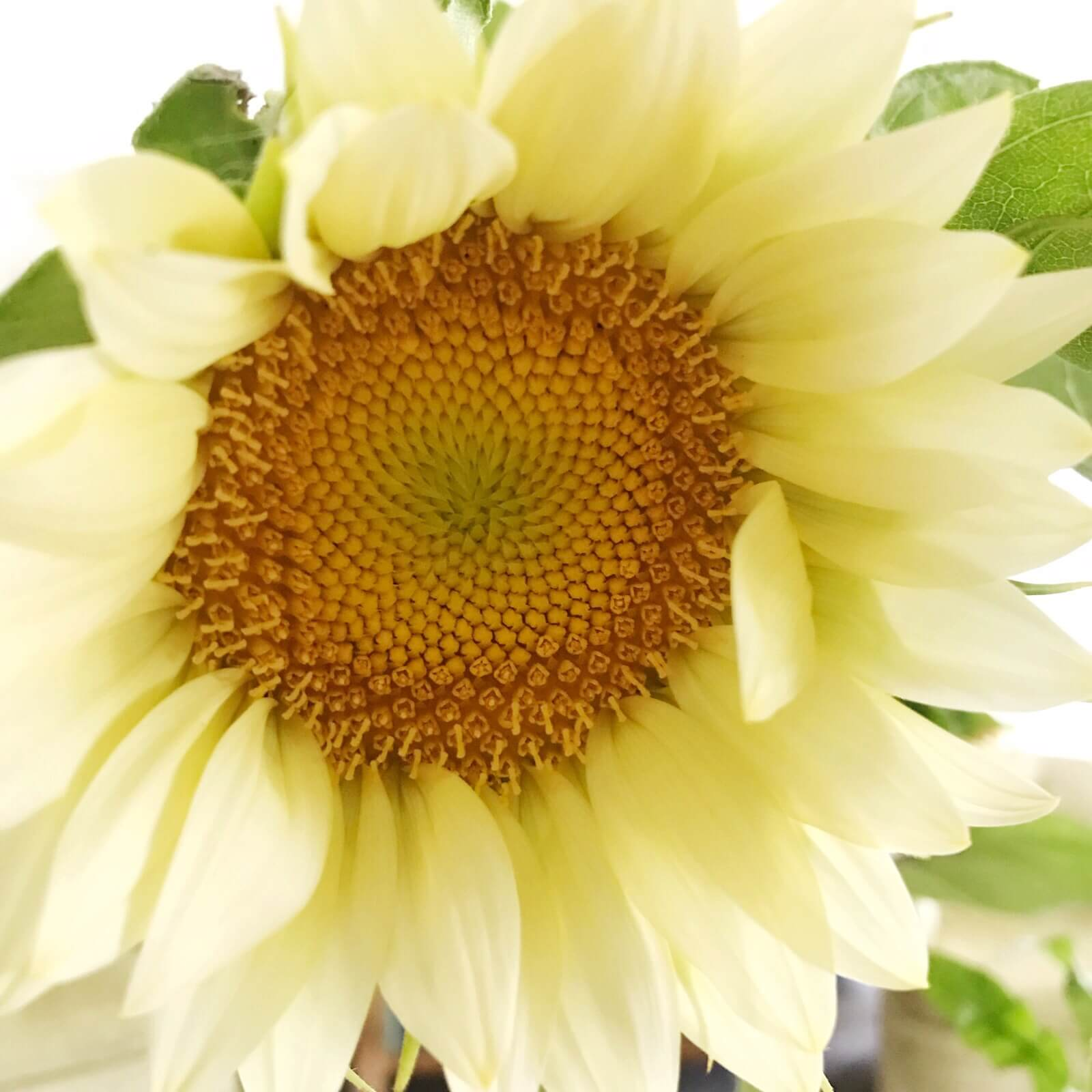 sunflower-3