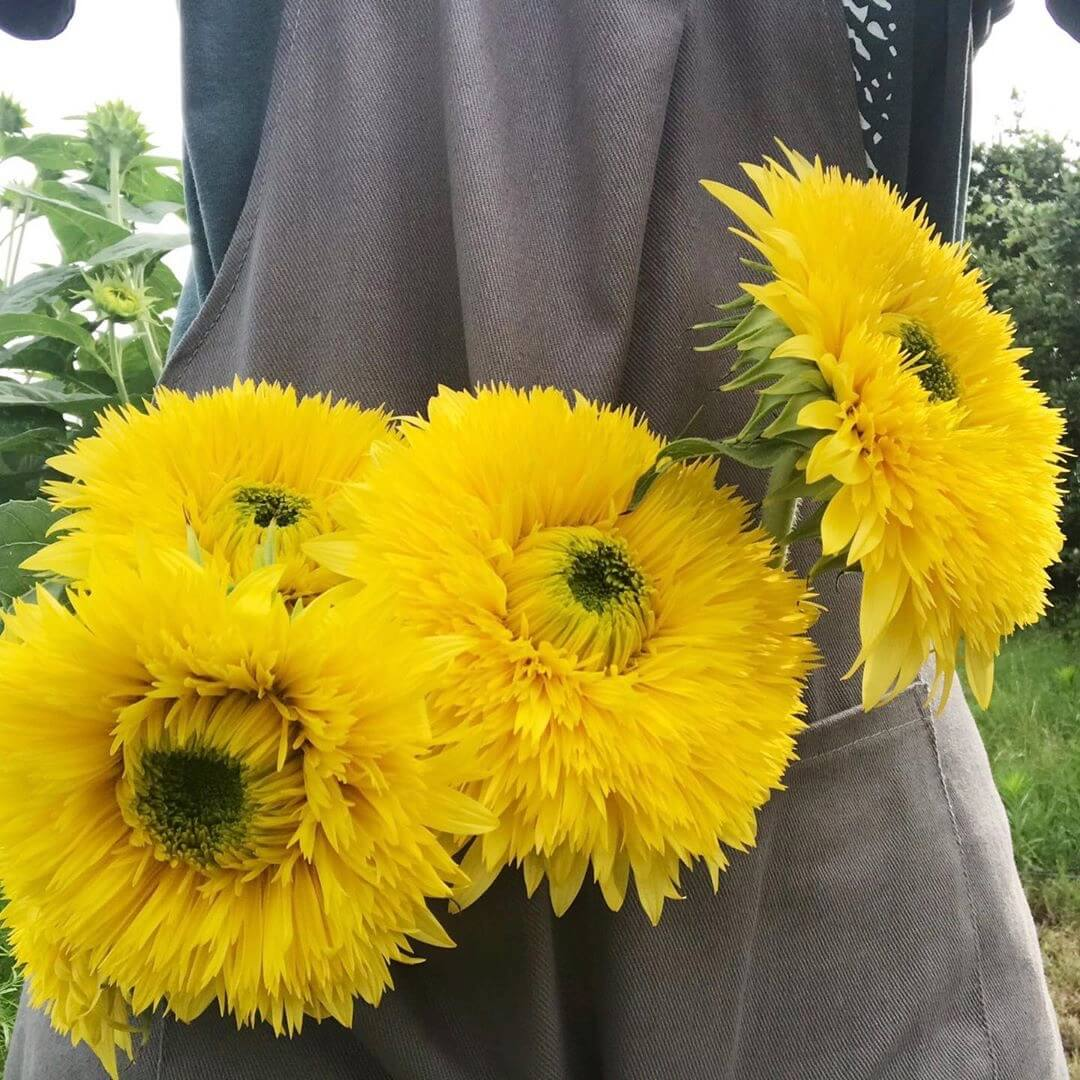 sunflower-6